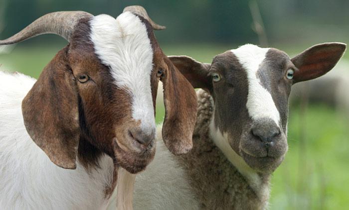 Linija ovce1